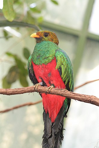 Pharomachrus - Image: Golden headed Quetzal