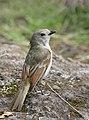 Golden Whistler - Lord Howe Island subspecies (41125330000).jpg
