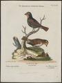 Goniophea violacea - 1700-1880 - Print - Iconographia Zoologica - Special Collections University of Amsterdam - UBA01 IZ16000155.tif