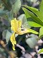 Goodenia ovata flower side view.jpg