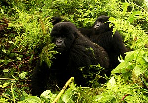 Berggorillas im Nationalpark Virunga
