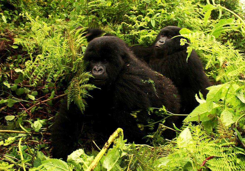 Gorillas-moving