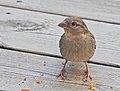 Gråsparv House Sparrow (20324873226).jpg