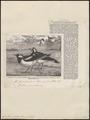 Grallina picata - 1863 - Print - Iconographia Zoologica - Special Collections University of Amsterdam - UBA01 IZ16300129.tif