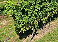 Grape vines (6) (22305401652).jpg