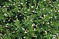 Gratiola officinalis kz04.jpg