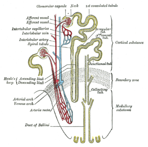 "Afferent arterioles - Scheme of renal tubule and its vascular supply. (Label ""Afferent vessel"" is visible in upper left.)"