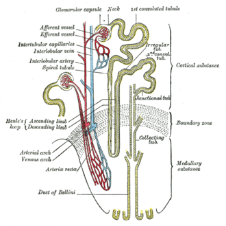 Proximal tubule - Scheme of renal tubule and its vascular supply. (1st convoluted tubule labeled at center top.)