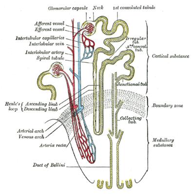 肾单位示意图.;; 肾元;