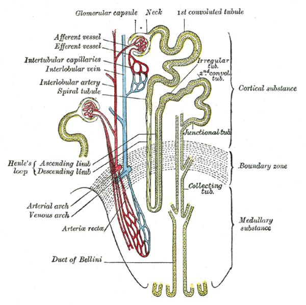 Arteriola aferente del glomérulo - Wikiwand