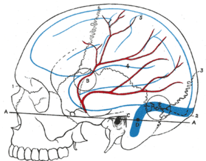 Middle meningeal artery - Relations of the brain and middle meningeal artery to the surface of the skull.