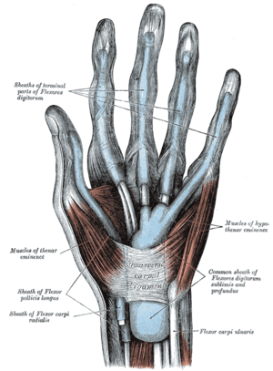 Flexor retinaculum of the hand - The mucous sheaths of the tendons on the front of the wrist and digits. (Transverse carpal ligament labeled at center.)