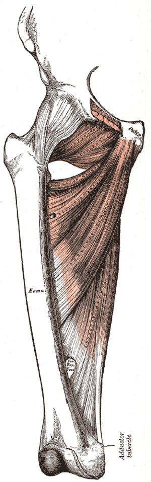Adductor tubercle of femur - Deep muscles of the medial femoral region (adductor tubercle labeled at bottom right)