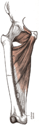 Musculus adductor longus