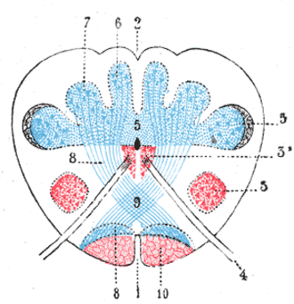 Dorsal column nuclei - Present at the junction between the spinal cord and medulla oblongata, the dorsal column nuclei consist of paired gracile, and cuneate nuclei (labels 6 and 7, respectively).