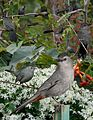 Gray Catbird from The Crossley ID Guide Eastern Birds.jpg