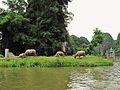 Grazing cattle (7172231735).jpg
