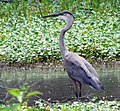 Great Blue Heron Huntley Meadows Park Alexandria VA 1824 (30182279405).jpg