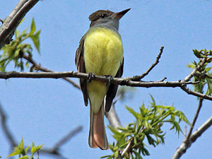 Great crested flycatcher - Image: Great Crested Flycatcher RWD2