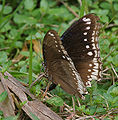 Great Eggfly- Hypolimnas bolina (female) laying eggs in Kolkata Iws IMG 0236.jpg
