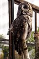 Great Grey Owl at Chester Zoo.jpg