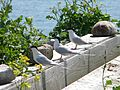 Great Gull Island, NY (5912660639).jpg