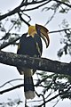 Great Hornbill of nelliampathi.jpg
