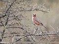 Great Rosefinch (Carpodacus rubicilla) (31310668517).jpg