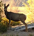 Great Sand Dunes National Park in September 2011 - Mule Deer.JPG