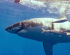 Great White Shark Displaying a Bite Wound from Another Shark.jpg