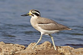 Great thick-knee (Esacus recurvirostris).jpg