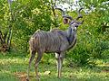 Greater Kudu (Tragelaphus strepsiceros) (11802253775).jpg
