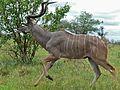 Greater Kudu (Tragelaphus strepsiceros) (6044766493).jpg