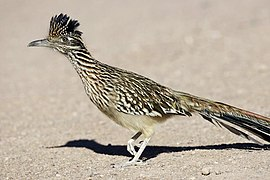 Greater Roadrunner (Geococcyx californianus) - Flickr - Lip Kee.jpg