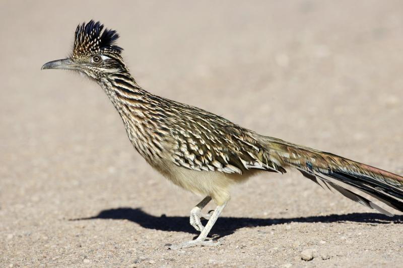 Greater Roadrunner (Geococcyx californianus) - Flickr - Lip Kee