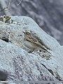Greater Short-toed Lark (Calandrella brachydactyla) (32923336051).jpg