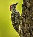Green-backed Woodpecker - Malawi S4E3705 (cropped).jpg