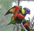 Green-naped Lorikeet underwing plumage.JPG