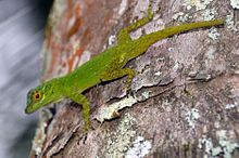 Green Bark anole.jpg