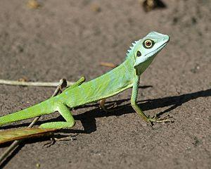 Bronchocela cristatella - Image: Green Crested Lizard (Bronchocela cristatella)