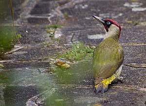 English: Green Woodpecker (Picus viridis) An e...