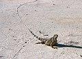 Green iguana. Tracks (6980044256).jpg
