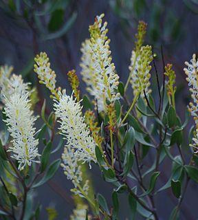 <i>Grevillea integrifolia</i> species of plant