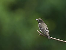 Grey-streaked Flycatcher 5735.jpg