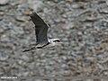 Grey Heron (Ardea cinerea) (34437120072).jpg