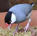 Grey bird Java Finch (3311755113).jpg