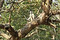 Grey langur in Suhelwa Wildlife Sanctuary AJT Johnsingh IMG 5544.JPG