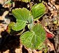 Greyia sutherlandii 06.jpg