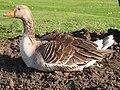 Greylag goose 2.jpg