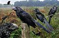 Groove-billed Ani From The Crossley ID Guide Eastern Birds.jpg